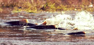 Rogue River Fisheries Recovery Plan - Oregon Strong
